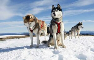 sled-dog-stowe-vermont